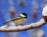 Black-capped Prints - Black-capped Chickadee in Sumac Print by Tony Beck