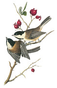 Lithograph Painting Prints - Black-capped Chickadee Print by John James Audubon