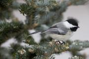 Full-length Portrait Framed Prints - Black-capped Chickadee, Poecile Framed Print by John Cancalosi