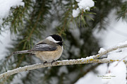 Woodlands Framed Prints - Black-capped Chickadee Framed Print by Reflective Moments  Photography and Digital Art Images