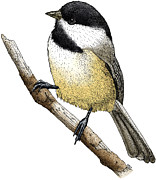 Animal Drawings Posters - Black Capped Chickadee Poster by Roger Hall and Photo Researchers