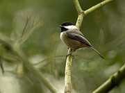 Bird In Tree Posters - Black-capped Chickadee with branch bokeh Poster by Sharon  Talson