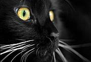 Cats Photo Metal Prints - Black Cat 2 Metal Print by Craig Incardone