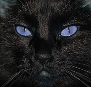 Black  Pyrography Prints - Black Cat Blue Eyes Print by Paul Ward