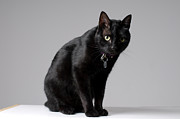 Domestic Animals Art - Black Cat by Ramiro Elena Photography