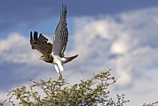 Snake In Tree Posters - Black-chested Snake Eagle Poster by Tony Camacho