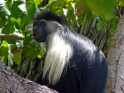 Mombasa Framed Prints - Black colobus monkey Framed Print by Tony Murtagh