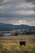 Farmland Art - Black Cow at Dusk by Peter Tellone