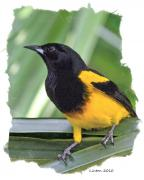Oriole Digital Art Posters - Black-cowled Oriole Poster by Larry Linton