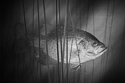 And Black Crappie Framed Prints - Black Crappie or Speckled Bass among the Reeds Framed Print by Randall Nyhof