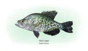 Game Drawings Posters - Black Crappie Poster by Ralph Martens