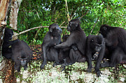 Embracing Prints - Black Crested Macaque Females Greeting Print by Anup Shah