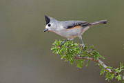 Hector D Astorga - Black Crested Titmouse...