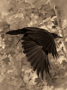 American Crow Photos - Black Crow by DigiArt Diaries by Vicky Browning