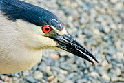Orange And Brown Wings Metal Prints - Black Crowned Night Heron 3 Metal Print by Nadine and Bob Johnston