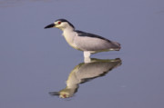 Wade Fishing Photos - Black-crowned night heron by Alon Meir