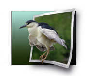 Oof Photos - Black Crowned Night Heron by Brian Wallace