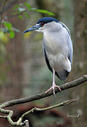 Red Eye Metal Prints - Black Crowned Night Heron III Metal Print by Suzanne Gaff