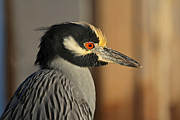 Cypress - Black Crowned Night Heron by Juergen Roth