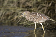 Martin Luther King Jr Photo Prints - Black Crowned Night Heron Juvenile Print by Sebastian Kennerknecht