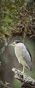 Skinny Framed Prints - Black Crowned Night heron  Framed Print by Patrick M Lynch