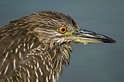Crowned Head Posters - Black-crowned Night Heron Poster by Photostock-israel