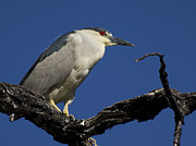 Birds - Black-Crowned Night Heron by Shane Bechler