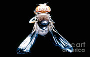Vinegar Prints - Black Curved Drosophila Print by Science Source