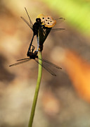 Dragonflies Mating Photos - Black Dragonfly Love by Sabrina L Ryan