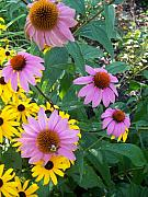 Eric Schiabor Prints - Black Eye Susans and Echinacea Print by Eric  Schiabor