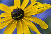 Black Eye Prints - Black-eyed Susan - D007741 Print by Daniel Dempster