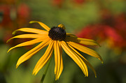 Black-eyed Susan 2 Print by Sharon  Talson