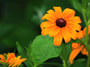 Black Eye Susan Prints - Black Eyed Susan 6 Print by Marjorie Imbeau