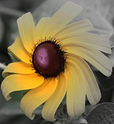 Black Eye Susan Prints - Black Eyed Susan Abstract 2 Print by Marjorie Imbeau