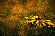 Photofusion Prints - Black-eyed Susan and Granite Print by  Onyonet  Photo Studios