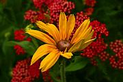 Steve Augustin Metal Prints - Black-eyed Susan and Yarrow Metal Print by Steve Augustin