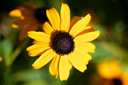 Black Eyed Susan Print Prints - Black Eyed Susan Print by Brooke Roby