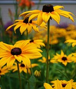 Black-eyed Susan Framed Prints - Black Eyed Susan Framed Print by Bruce Bley