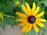 Black Eyed Susan Print Prints - Black Eyed Susan Print by Denise Jenks