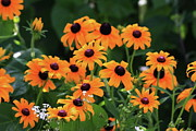 Black Eyed Susans Framed Prints - Black Eyed Susan Floral 2 Framed Print by Marjorie Imbeau