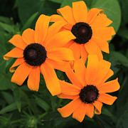Golden Flowers Metal Prints - Black-Eyed Susan Floral 3 Metal Print by Marjorie Imbeau