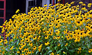 Black Eyed Susan Flowers  Print by Susan Leggett