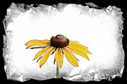Original Photos - Black Eyed Susan II by Cris Hayes