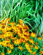 Kathie Mccurdy Prints - Black Eyed Susan Impressionistic  Print by Kathie McCurdy