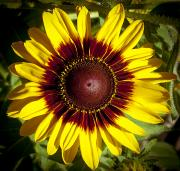 Black Eye Susan Prints - Black Eyed Susan Print by Joe Carini - Printscapes