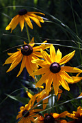 Short-lived Perennial Posters - Black Eyed Susan Poster by Kay Novy