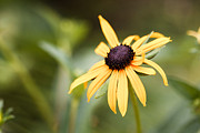 Black-eyed Susan Framed Prints - Black Eyed Susan Framed Print by Lisa McStamp
