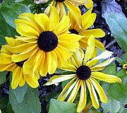Black Eye Susan Prints - Black Eyed Susan Print by Mindy Newman