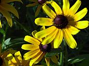 Floral Photos - Black eyed Susan by Mary-Lee Sanders