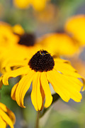 Black Eyed Susan Print Prints - Black Eyed Susan One Print by Brooke Roby